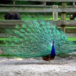 image of a peacock